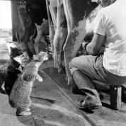 De katten Blackie and Brownie pikken wat melk mee tijdens het melken op Arch Badertschers' zuivelboerderij.